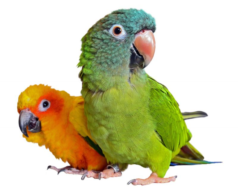 The Parrot Brothers