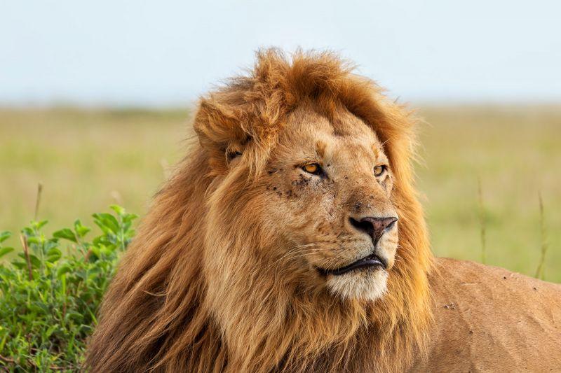 King of the safari